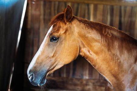安定して立っている孤立した馬の頭部の肖像 写真素材