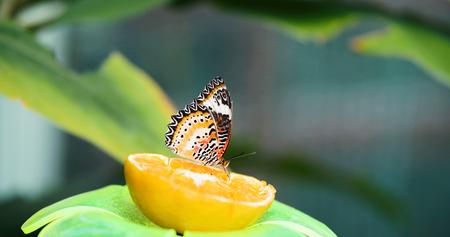 レモンに綺麗カラフルな蝶の写真