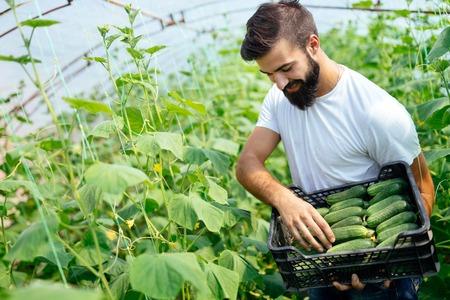 彼の温室の庭から新鮮なキュウリを選ぶ男性農民 写真素材