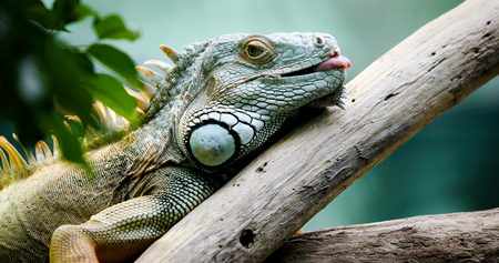 Green Iguana on branch Stock Photo