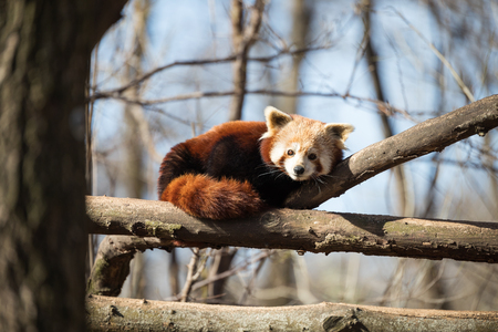 Portrait of red panda lying on tree