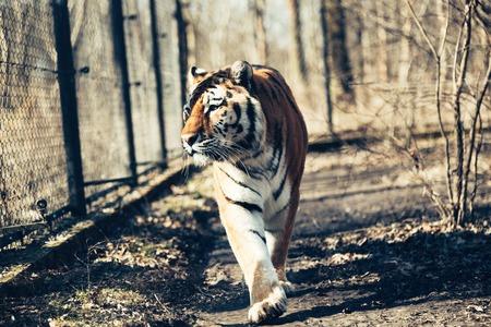 Portrait of big tiger walking in forest