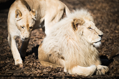 White lion and lioness in nature park Stock Photo