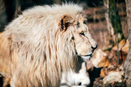 Portrait of white lion walking towards camera Stock Photo
