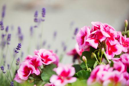 ピンクの花を持つゼラニウム植物 写真素材