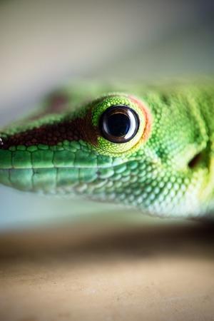 Close up of beautiful green lizard eye Reklamní fotografie