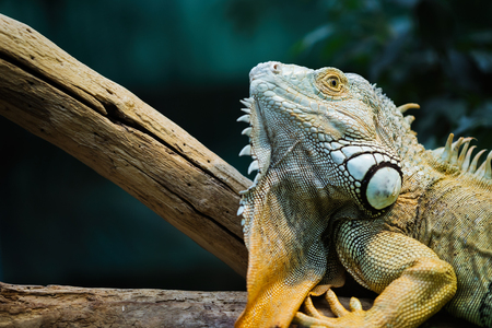 A green iguana standing on a branch