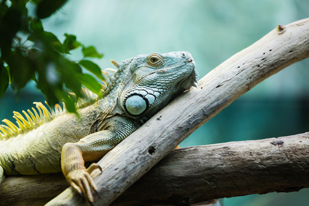 Green iguana climbing on a branch in the lush greenery, close-up 写真素材