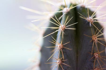 Cactus Background. Cactus. Macro cactus thorns.
