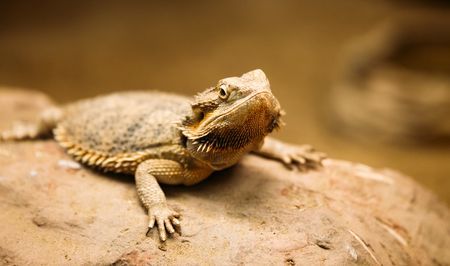 Picture of flat-tailed desert horned lizard resting on rock Stock fotó