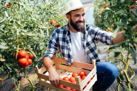 Male farmer picking fresh tomatoes from his hothouse garden Zdjęcie Seryjne - 96693854