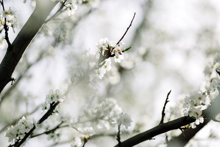 Blossoming trees Archivio Fotografico - 100210102