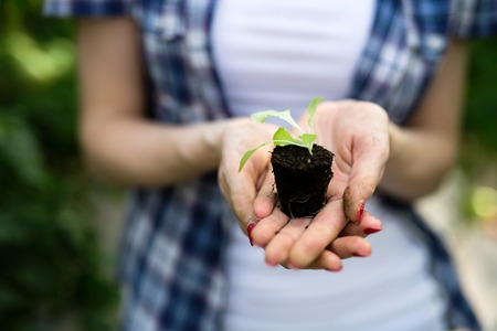 Womans hands holding tomato plant with ground Reklamní fotografie - 102544689