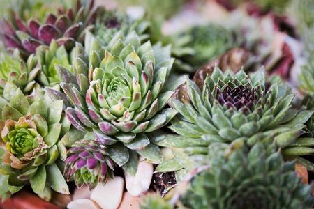 Sempervivum in nature Stock Photo