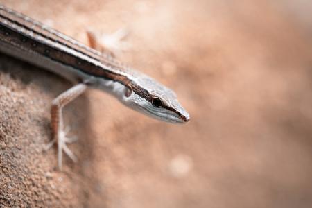little lizard close up, lizard macro photography