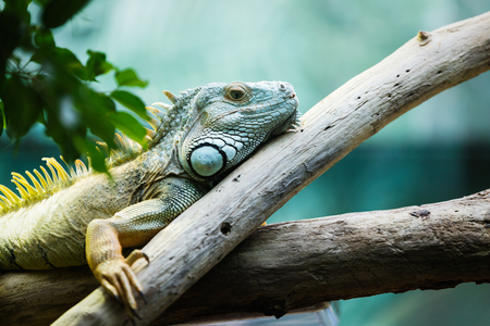 Green iguana climbing on a branch, close-up Imagens