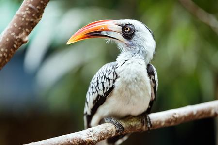 A beautiful Southern Yellow-billed Hornbill