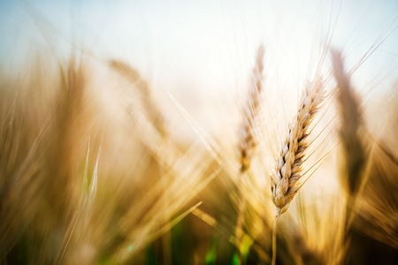 Close-up picture of golden wheat in countryside Banco de Imagens