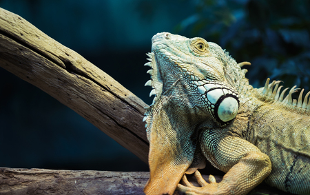 Green iguana climbing on a branch, close-up Stock Photo