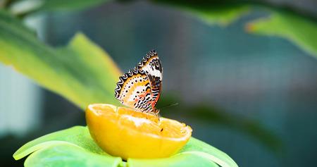Imagen de hermosa mariposa colorida en limón Foto de archivo