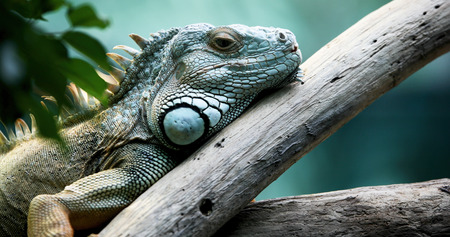 Closeup of beautiful green Iguana on branch