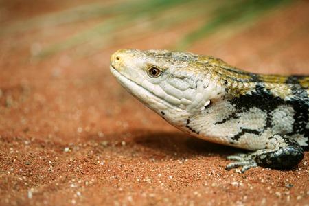Popular pet gecko, gecko a night active lizard 版權商用圖片