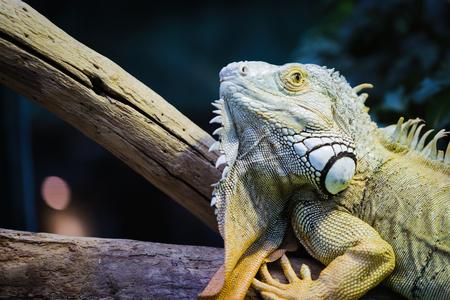 Green Iguana on branch 스톡 콘텐츠