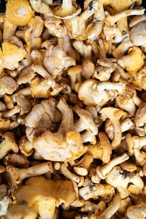 Freshly harvested organic mushrooms background. Edible mushrooms