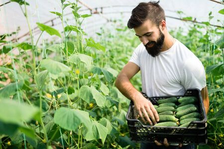 Male farmer picking fresh cucumbers from his hothouse garden Stock Photo