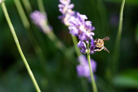 Honey bee on lavender flower. Bee is collecting pollen. 写真素材