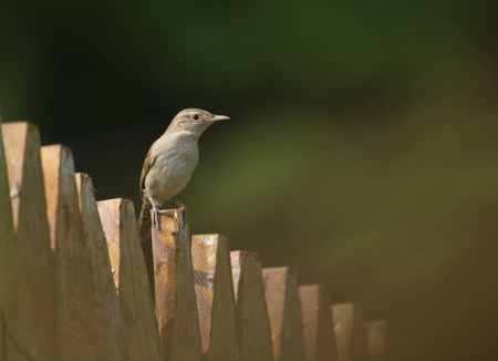 Plain brown wren sitting on a fence.  Dark green and brown background with room for copy. Фото со стока