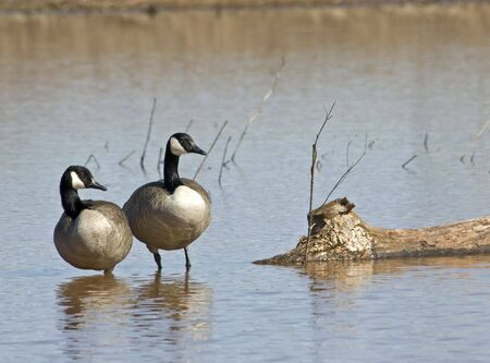 Two Canada Geese standing in shallow water Zdjęcie Seryjne