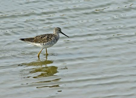 birdwatching: Greater Yellowlegs foraging in water