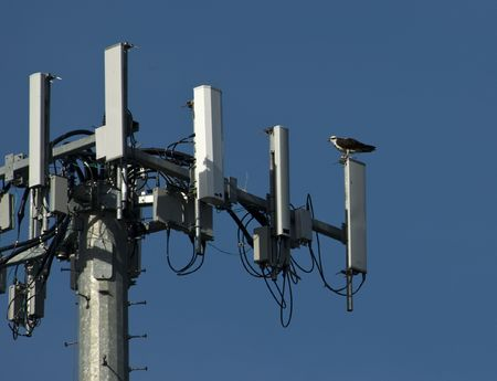 Osprey, perched on cell tower used as a nesting platform Stock Photo