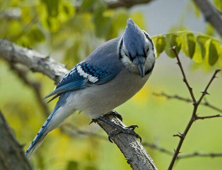 green jay: Blue Jay posado en una rama mirando hacia abajo