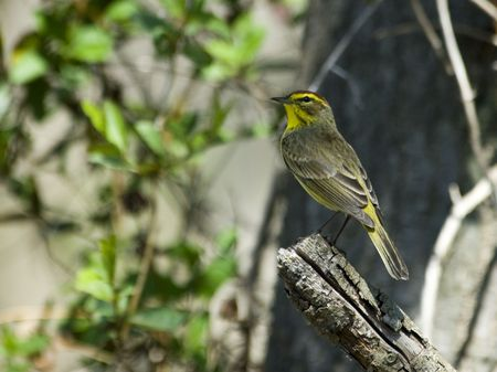 Palm Warbler perched on snag in woods