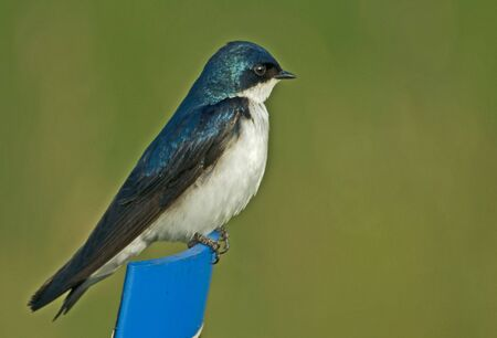 Tree Swallow perched on fence post against green background