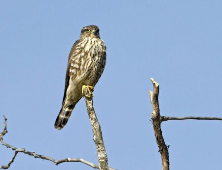 merlin: Merlin perched atop a dead branch against blue sky