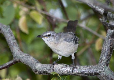 Mockingbird perched on branch Banco de Imagens
