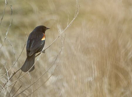 Red-winged Blackbird perched against light brown background