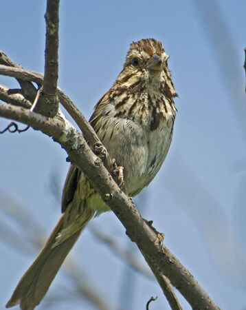 Song sparrow perched on a branch; blue sky behind