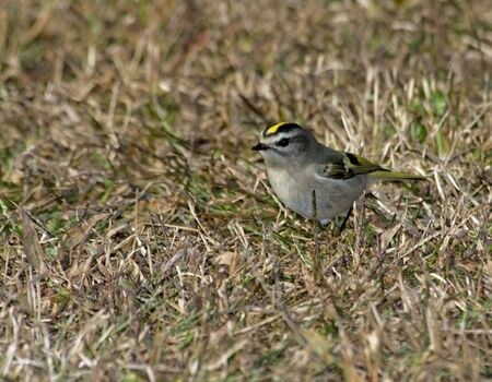 Golden-crowned Kinglet sitting in brown grass