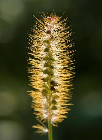 백라이트 잔디 씨앗 줄기에 빛나는 이른 아침 태양; 짙은 녹색 배경