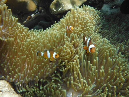 andaman sea: Clownish , Coral reefs and Anemones Flower , Andaman sea Southern of Thailand