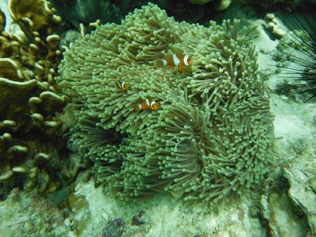 nemo: Nemo Fish , Coral reefs and Anemones Flower , Andaman sea Southern of Thailand
