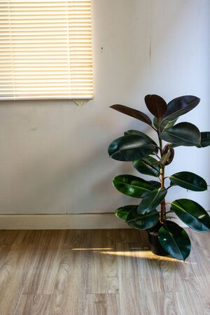 At present it is popular to use air purification plants to decorate the house. The 80 cm Rubber Plant size is a perfect size for home interiors. 版權商用圖片