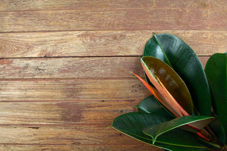 Indian rubber tree, the tops of the rubber plant on wooden background. Indian rubber trees obtained by propagating by graft