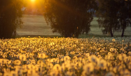 Sunset on dandelion field photo