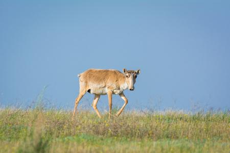 Saiga tatarica, Chyornye Zemli (Black Lands) Nature Reserve, Kalmykia region, Russia. 版權商用圖片
