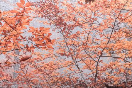 Autumn beech forest. Mountain range Demerdzhi, the Republic of Crimea. Stock Photo